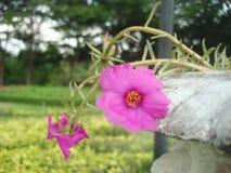 Pink sun plant Royalty Free Stock Photos