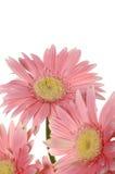 pink sunflower arkivfoton