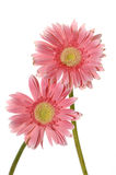 pink sunflower Royaltyfri Bild