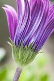 Pink sunflower daisy, Dimorphotheca, flower Stock Photo