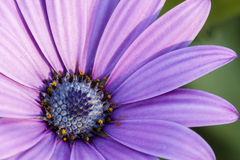 Pink sunflower daisy, Dimorphotheca, flower Royalty Free Stock Image