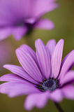 Pink sunflower daisy, Dimorphotheca, flower Stock Photography