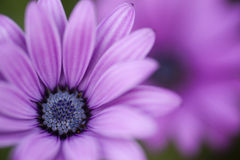 Pink sunflower daisy, Dimorphotheca, flower Stock Images