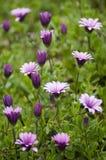 Pink sunflower daisy, Dimorphotheca, flower Royalty Free Stock Image