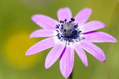Pink sunflower daisy flower Stock Photo