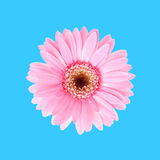 Pink sunflower flora Stock Photo