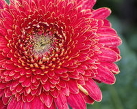 Pink Sunflower Royalty Free Stock Photos