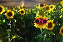 Pink sunglasses on sunflower Stock Image