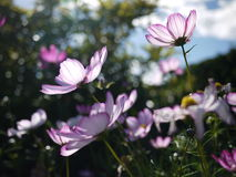 Pink sunlight Cosmos flower stock photography