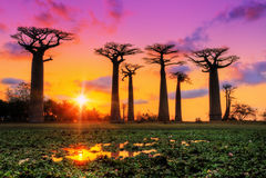 Pink sunset Baobabs Royalty Free Stock Images