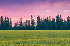 Canola Field Pink Sunset Royalty Free Stock Images