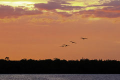 Pink Sunset. Over Darling Wildlife Refuge on Sanibel Island, Florida with silhouette of flying Ibis royalty free stock images