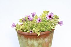 Pink surfinia in the flowerpot background Stock Images