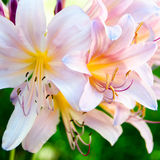 Pink Surprise Lilies with Green Leaves in the Background Royalty Free Stock Photos