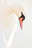Pink Swan Stock Photos