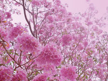 Pink sweet dream feeling. Pink trumpet tree flower blooming in valentine's day with pink light like sweet dream(Tabebuia rosea, Family Bignoniaceae, common name Stock Photos