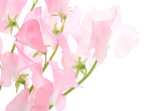 Pink sweet pea Royalty Free Stock Photography