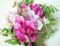 Pink sweet pea Stock Images