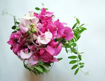 Pink sweet pea Royalty Free Stock Image