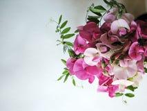Pink sweet pea Stock Photo