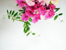 Pink sweet pea Royalty Free Stock Images
