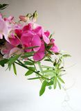 Pink sweet pea Royalty Free Stock Photo