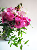 Pink sweet pea Royalty Free Stock Photos