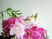 Pink sweet pea Stock Photos
