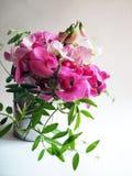Pink sweet pea Stock Image