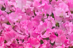 Pink sweet pea flowers Stock Images