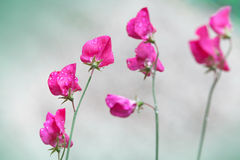 Pink sweet pea flowers (Lathyrus odoratus) Royalty Free Stock Photography