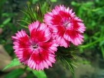 Pink sweet william stock photos