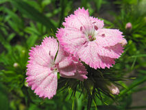 Pink sweet william Royalty Free Stock Photography