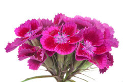 Pink Sweet William (Dianthus Barbatus) Flowers Royalty Free Stock Photography