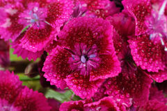 Pink Sweet William Flowers with Water Drops Stock Photos