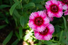 Pink sweet william on green background. Beautiful flowers blooming in the garden Royalty Free Stock Photo