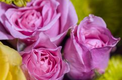 Pink Sweetheart Roses 2. Close up of pink sweetheart rose blossoms Royalty Free Stock Photos