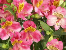 Pink Sword lilies. This is a giant bouquet of pink sword lilies or gladioli Stock Photos