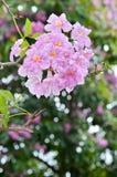 Pink Tabebuia blossom Royalty Free Stock Photo