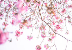 Pink tabebuia floral background Stock Photo