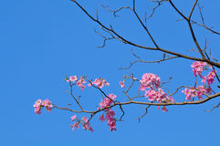 Pink Tabebuia Flower Stock Photos