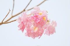Pink Tabebuia Stock Image