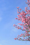 Pink tabebuia rosea blossom Royalty Free Stock Image