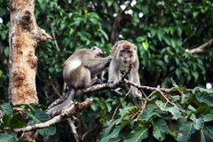 Pink tail macaque Stock Image