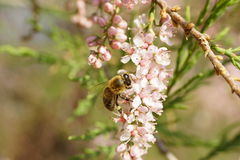 Pink tamarix blossoms with bee Stock Photography