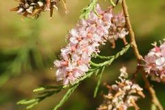 Pink tamarix blossoms  macro Stock Photos