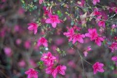 Pink tea flowers in spring in Japanese Tea Garden. Japanese Tea Garden, Golden Gate Park, San Francisco, California: 03/23/2018 royalty free stock image