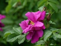 Pink tea rose Stock Photography