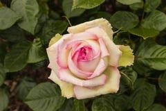 Pink tea rose flowerhead. Closeup of pink tea rose flowerhead Royalty Free Stock Image
