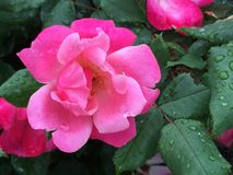 Pink Tea Rose after a rain Royalty Free Stock Photo